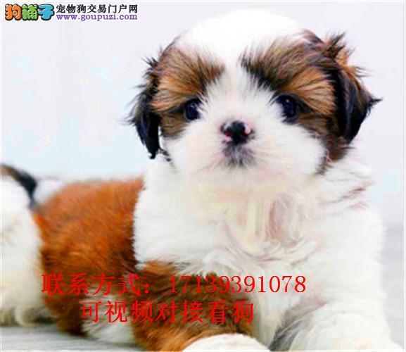 小型西施犬出售,狗狗长不大的,很可爱包,健康