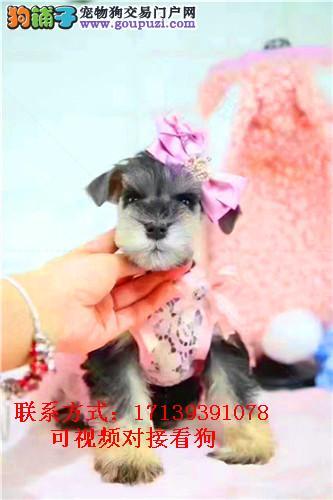 出售家养迷你雪纳瑞犬幼犬包纯种健康