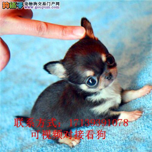 出售活体纯种迷你小体吉娃娃犬幼犬