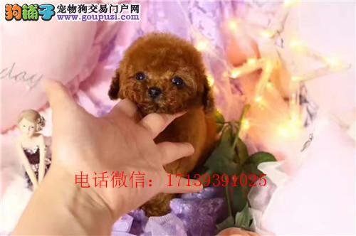 茶杯泰迪幼犬出售 疫苗驱虫已做 价格优惠 包纯种
