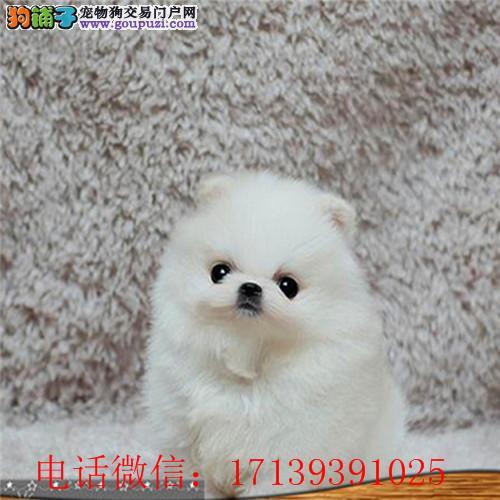 犬舍直销精品博美 黄博美 价格优惠 品质保障 包纯种