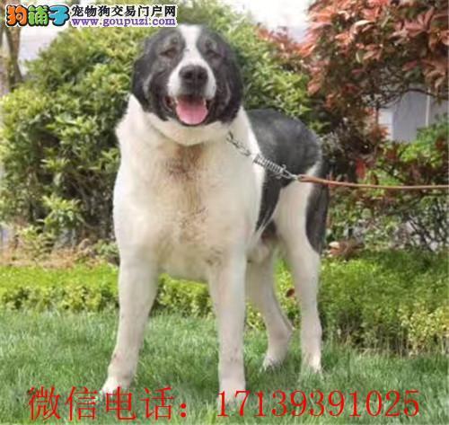 中亚牧羊犬 保纯保健康 疫苗和驱虫均已做完 可签协议