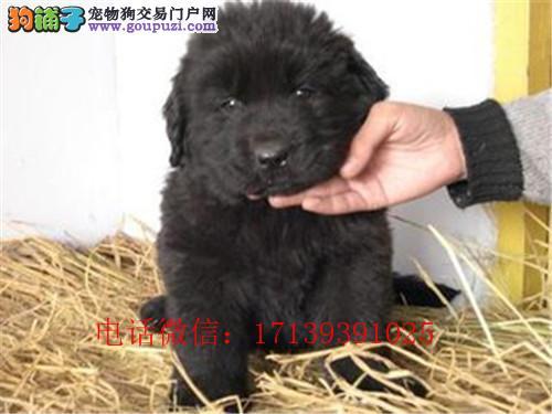 赛级纽芬兰幼犬出售了 驱虫 疫苗已做完 机不可失哦