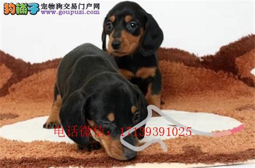 专业繁殖纯种极品腊肠犬幼犬、品质健康保证 欢迎选购