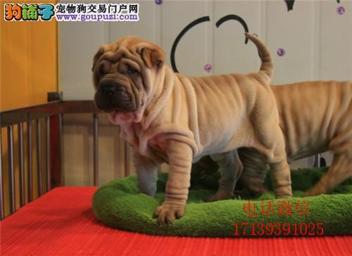 高品质沙皮狗幼犬出售 血统纯正 体型完美 健康纯种