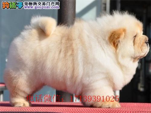 犬舍出售松狮幼犬 憨厚的肉嘴松狮幼犬找新家 包健康