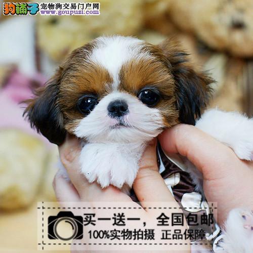 小型长毛宠物狗出售纯种中国三色西施幼犬活体送货上门