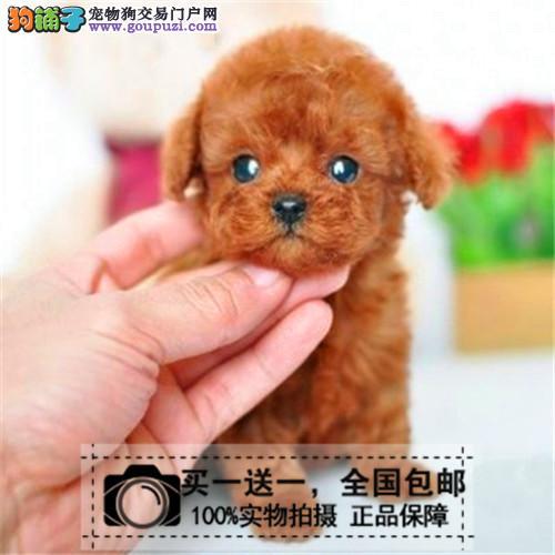 出售纯种迷你型泰迪犬茶杯贵宾幼犬玩具型泰迪送货上门