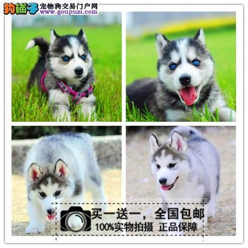 出售纯种雪橇犬赛级哈士奇幼犬双血统二哈双蓝眼三把火