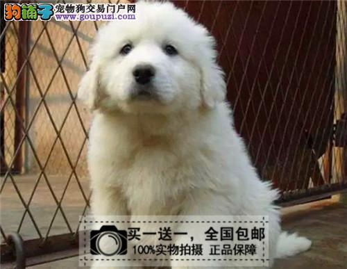 纯种大白熊赛级幼犬出售巨型大白熊双血统包邮送货上门