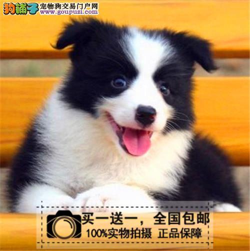 出售纯种边境牧羊犬七白三通赛级边牧宠物狗狗送货上门