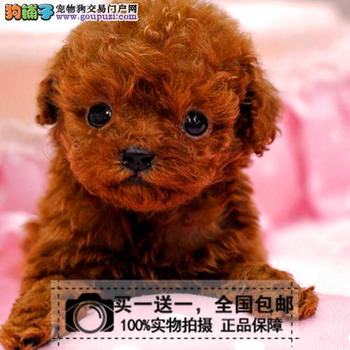 纯种健康茶杯泰迪幼犬微小玩具贵宾泰迪幼犬送货上门