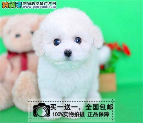 纯种卷毛比熊犬宠物狗活体小方体迷你型宠物狗送货上门