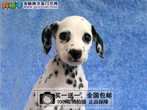 纯种斑点犬大麦町犬疫苗驱虫已做签协议可送货上门包邮