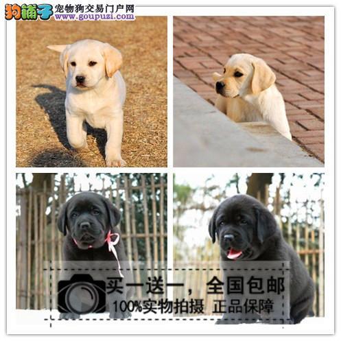 双血统赛级纯种拉布拉多幼犬导盲犬幼犬宠物狗送货上门