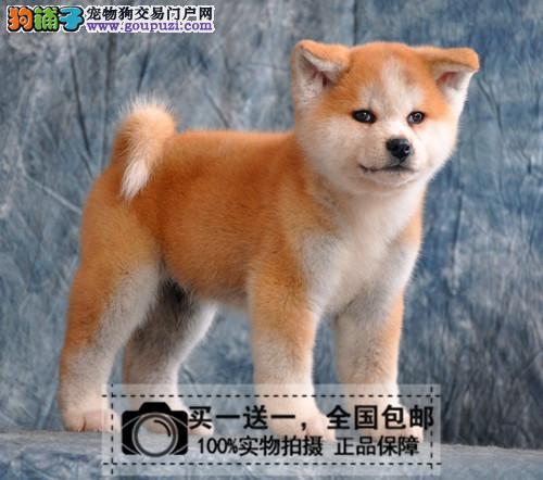 出售中型柴犬纯种日本柴犬幼犬宠物狗疫苗齐全送货上门
