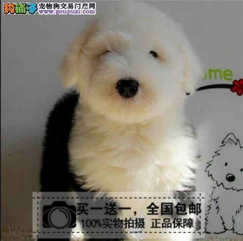 赛级血统大型家养宠物狗古代牧羊犬纯种古牧幼犬出售