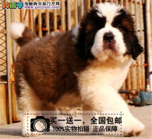 伯恩山犬幼犬活体纯种巨型赛级血统工作大型犬送货上门