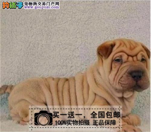 出售赛级血统纯种皮松犬大皱褶沙皮狗幼犬家养宠物狗