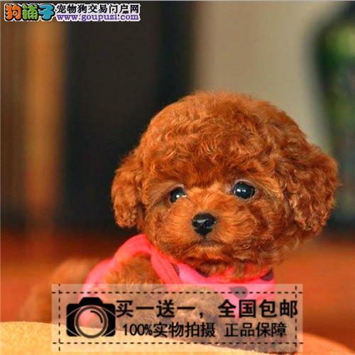 出售纯种泰迪幼犬贵宾犬茶杯泰迪 茶杯犬 送货上门包邮