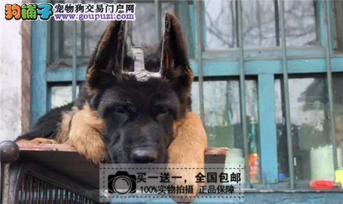 纯种健康狼狗双血统带证书全国包邮买一送一送货上门