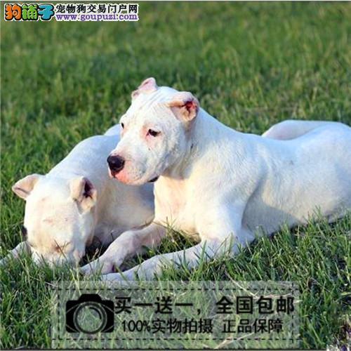 杜高幼犬活体纯种双血统包邮包修耳巨型杜高犬送货上门