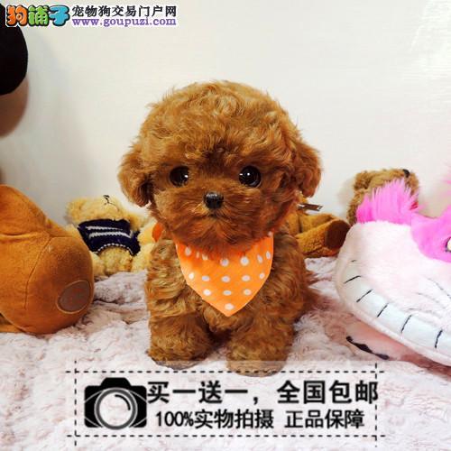 纯种健康泰迪幼犬纯种贵宾红棕色灰巧克力色茶杯犬包邮