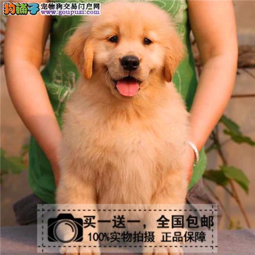 出售纯种健康金毛犬寻回犬黄金幼犬猎犬宠物狗送货上门