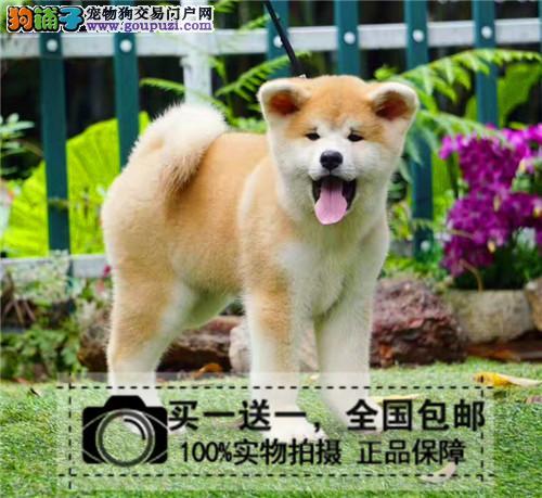 纯种日本柴犬秋田犬纯种秋田幼犬 忠八公犬 看家护卫犬