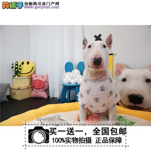 出售活体纯种牛头梗犬 幼犬 双海盗眼 可视频 送货上门