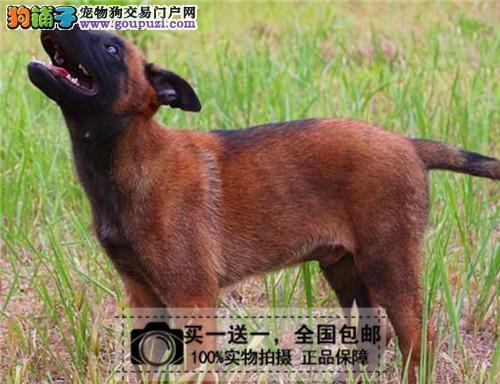 纯种马犬幼犬活体比利时牧羊犬马犬短毛护卫犬送货上门