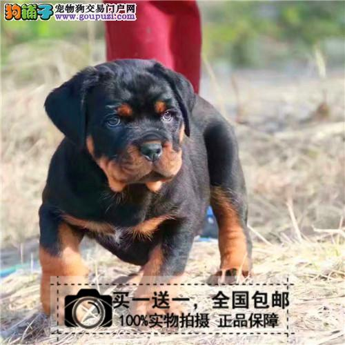 出售罗威纳犬幼犬纯种罗威纳双血统活体宠物狗送货上门