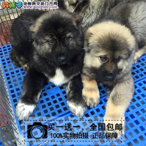 巨型熊版高加索幼犬猛犬护卫犬高加索赛级宠物送货上门