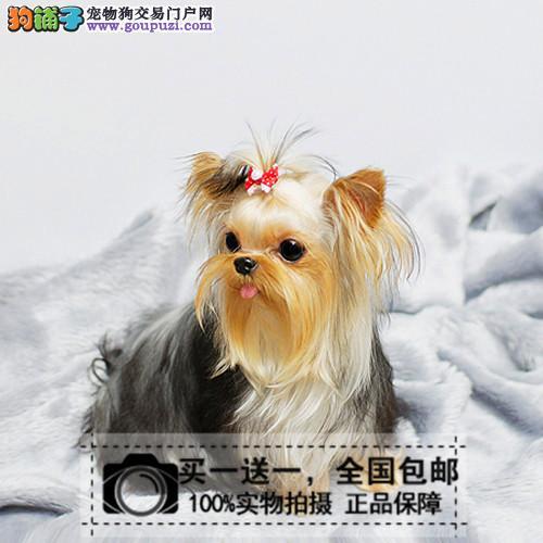 星级犬屋引进 精品小体约克夏 约克夏犬 约克夏梗幼犬