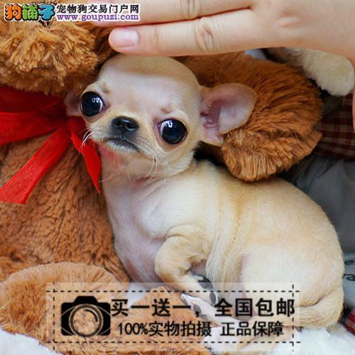 出售吉娃娃活体宠物狗小体型幼犬公母有包健康送货上门
