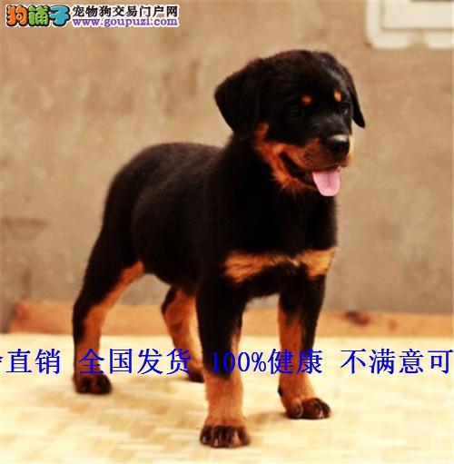 罗威纳犬德系赛级家养猛犬防暴犬护卫犬幼犬