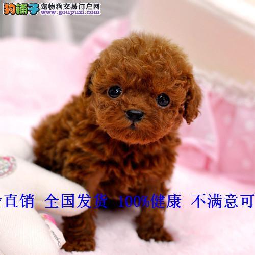 人气泰迪犬幼犬纯种贵宾狗狗红棕色灰巧克力色
