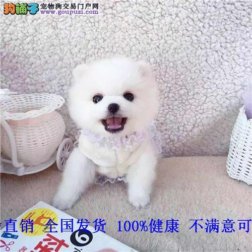 博美犬幼俊介犬博美茶杯狗纯种宠物狗长不大小型犬