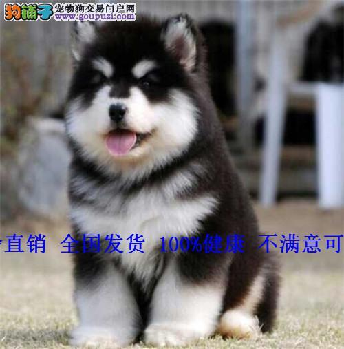 阿拉斯加犬幼犬纯种巨型阿拉斯加狗雪橇犬大型犬宠物狗