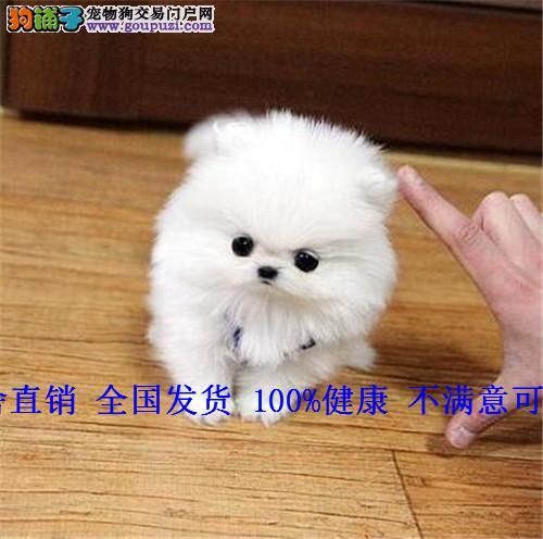 茶杯泰迪微小玩具贵宾泰迪熊幼犬活体泰迪犬宠物小狗