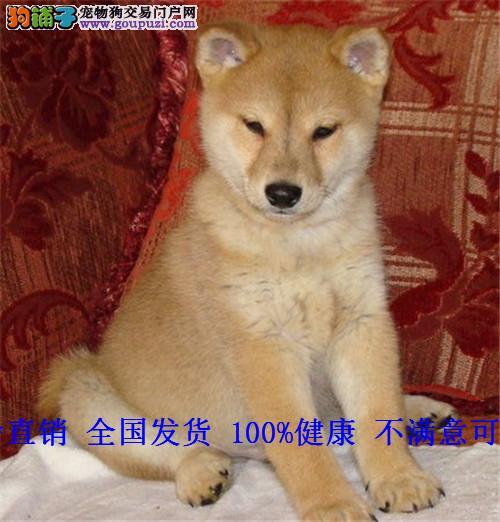日本柴犬幼犬纯种 柴犬幼犬血统好日系柴犬小柴犬