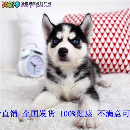 出售纯种雪橇犬哈士奇幼犬双血统二哈货双蓝眼三把火