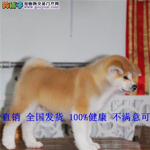 日本柴犬秋田犬 纯种秋田幼犬 忠八公犬 看家护卫犬