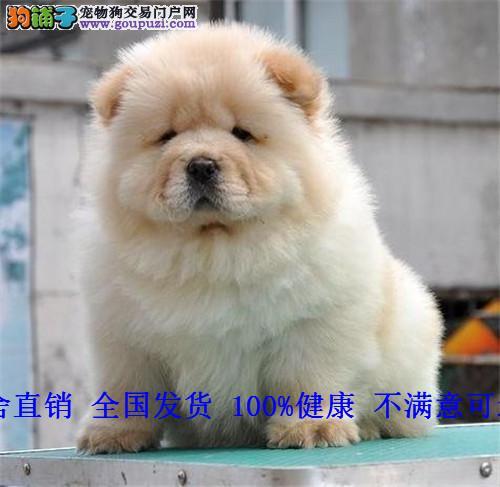 预售纯种松狮幼犬活体 大头肉嘴松狮犬宠物狗狗