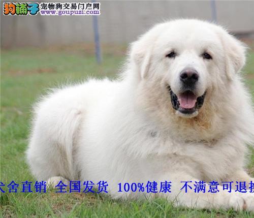 大白熊犬 幼犬 白色狗 纯白宠物狗狗
