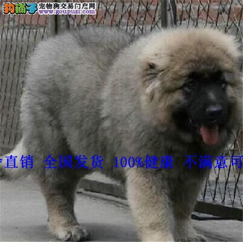 巨型熊版高加索幼犬 猛犬护卫犬高加索赛级宠物狗