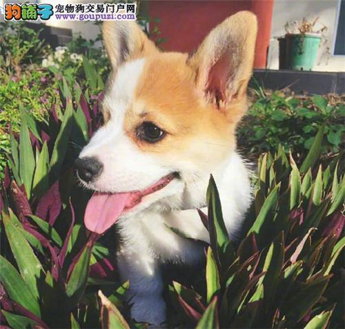 柯基犬 纯种幼犬 宠物狗 两色三色柯基