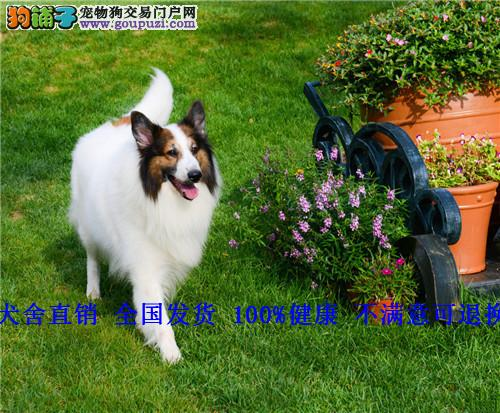 精品 纯种苏格兰牧羊犬幼犬出售三色苏狗狗