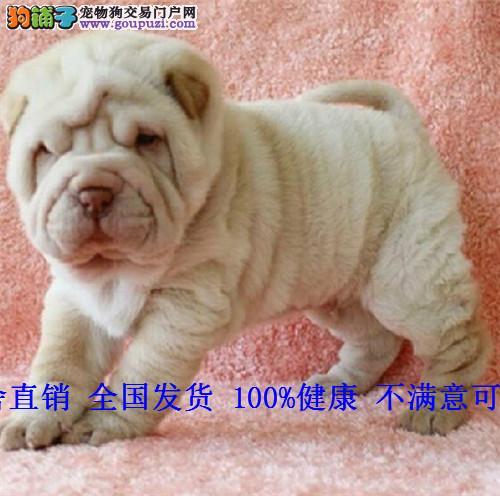 沙皮犬纯种沙皮狗褶皱犬沙皮狗幼犬活体沙皮犬