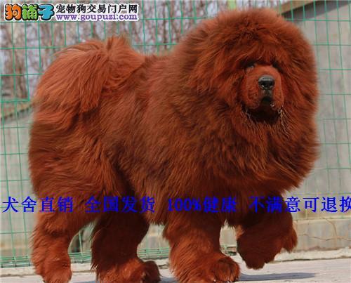 藏獒纯种家养 藏獒幼犬短毛包金黑獒大狮头藏獒